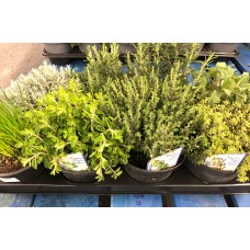 Mixed Potted Herbs x8